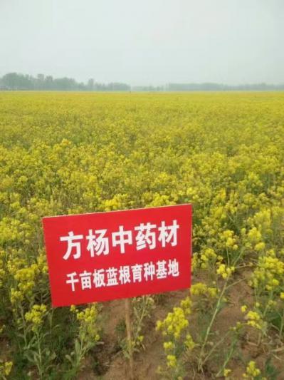 2021新板蓝根种子,小叶高产品种,手工采摘,出芽率95%,质优价廉