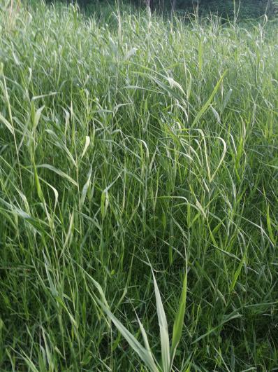 大量供应芦根:芦茅根、苇根、芦菰根、顺江龙、水蓈蔃、芦柴根、芦通、苇子根、芦芽根、甜梗子、芦头