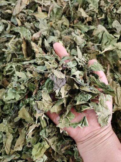 供应桑叶产地批发零售桑叶多少钱一斤桑叶哪里能买到