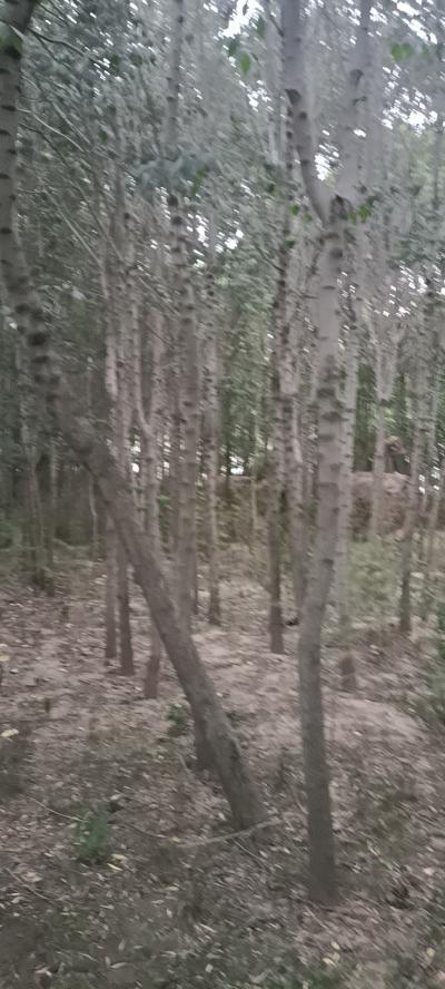 出售杜仲树