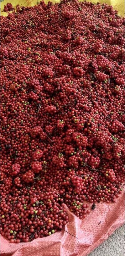 江西道地中药材粉防己种子,今年的新种子,产地一手货源!