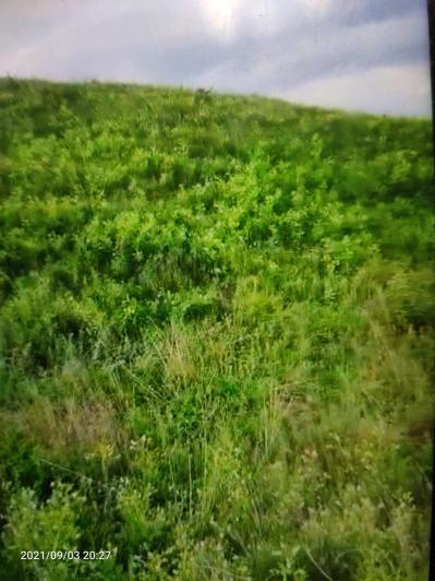5年生山西浑源正北芪100亩
