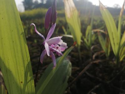 18年下种三叉紫花白芨向阳沙土种植计划今年出货紫花三叉白芨