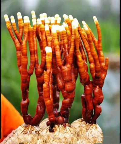 常年供应各种灵芝  灵芝片  灵芝切片  灵芝孢子粉  孢子油  鹿角灵芝