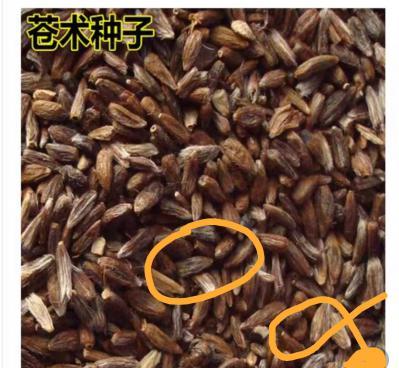 朱砂点苍术种子